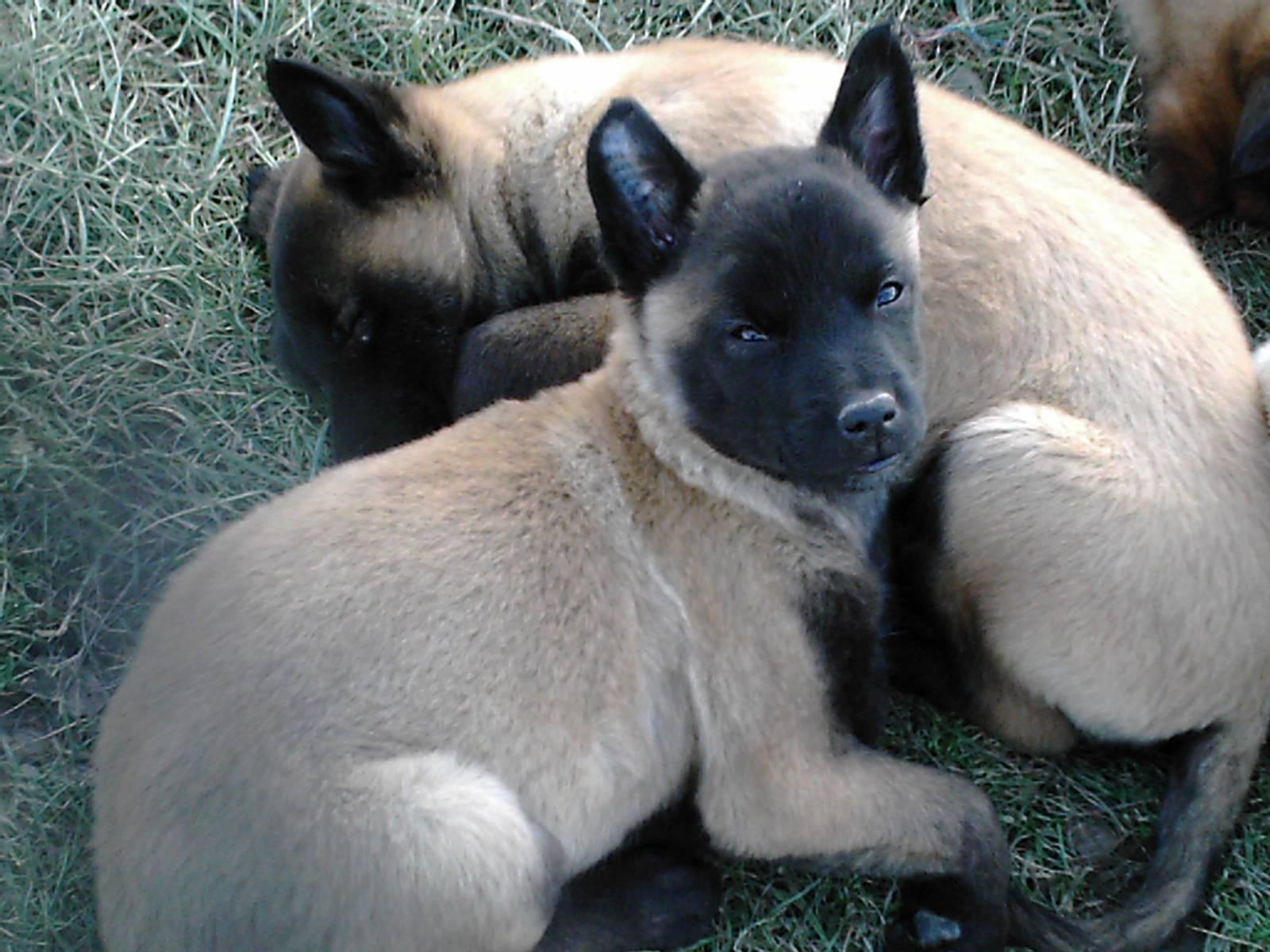 Achat de chien berger belge malinois male ou femelle