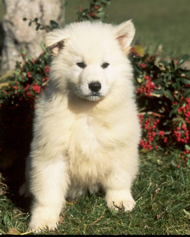 elevage de berger blanc suisse lof elevage de chiens et chats avignon pension chiens cany. Black Bedroom Furniture Sets. Home Design Ideas
