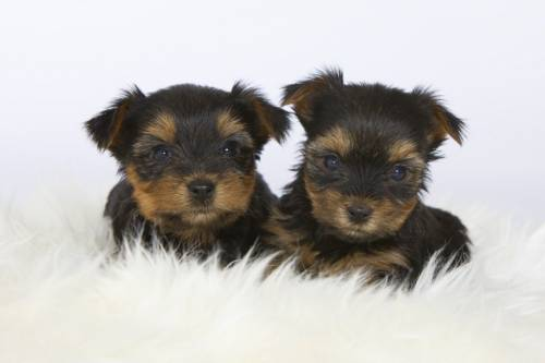 YORKSHIRE TERRIER   L.O.F.